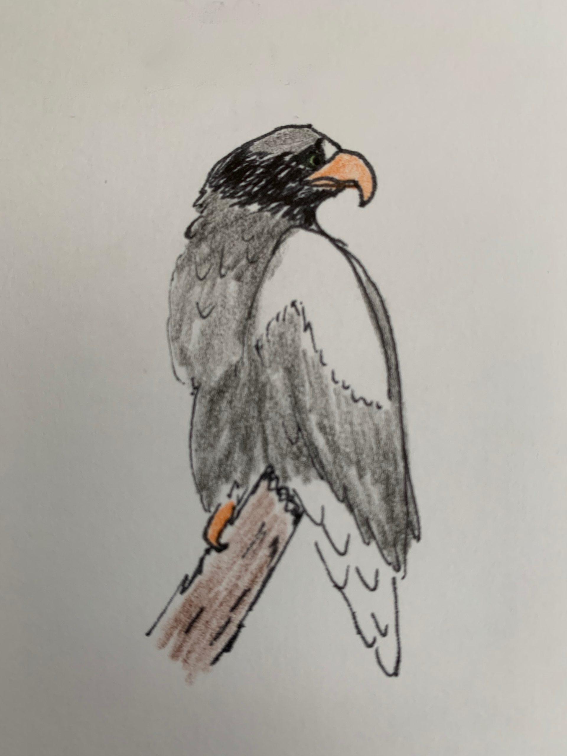 sea bird eagle hand drawn illustration pirate party seaport games, J D Stark
